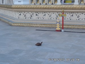 A turtle visits the Pagoda_2