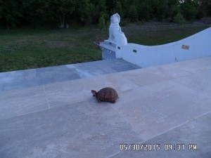 A turtle visits the Pagoda_4